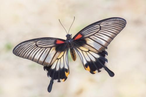 Papilio lowi...